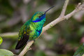 Green violetear, Colibri thalassinus Stock Photos