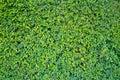 Green wall of a Garden Royalty Free Stock Photo