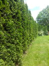 Green wall trees garden jassemine Stock Photo