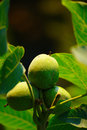 Green Wallnuts In Summer Royalty Free Stock Photo