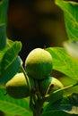 Green Wallnuts In Summer Royalty Free Stock Photo
