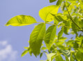 Green walnut leaf tree leaves on blue sky Royalty Free Stock Photos