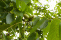 Green walnut on a tree Royalty Free Stock Photo