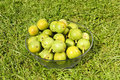 Green walnuts Royalty Free Stock Images