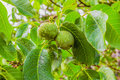 Green walnuts on a branch