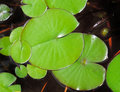 Green water lilies Royalty Free Stock Photo