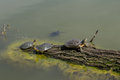 Green water turtles on the log at old morass turtle a in lake wallpaper Royalty Free Stock Photography