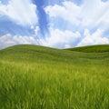 Green wavy wheat field Royalty Free Stock Photos
