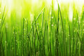 Green wet grass with dew on a blades shallow dof Stock Images