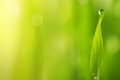 Green wet grass with dew on a blades Royalty Free Stock Photo