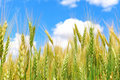 Green Wheat and Blue Sky Stock Photos