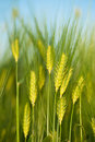 Green wheat close-up Royalty Free Stock Photo