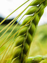 Green wheat Royalty Free Stock Photo