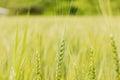 Green wheat ear on the field in summertime