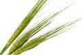 Green wheat ears isolated Stock Images