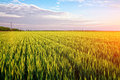 Green wheat field beautiful landscape Royalty Free Stock Photo