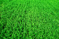 Green wheat field closeup as background spring landscape Royalty Free Stock Photo