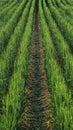 Green wheat field Royalty Free Stock Photo