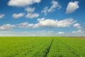 Green wheat field landscape Royalty Free Stock Photo