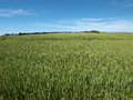 Green wheat field perfect agriculture food production nature image Stock Image