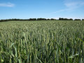 Green wheat field perfect agriculture food production nature image Royalty Free Stock Image