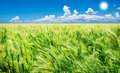 Green wheat field with sky Royalty Free Stock Images