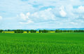 Green wheat field summer landscape with Stock Photo