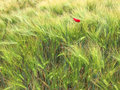 Green wheat fields with a red poppy Royalty Free Stock Photo