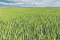 Green wheat fields Royalty Free Stock Photo