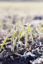 Green wheat in frost, close-up Royalty Free Stock Photo