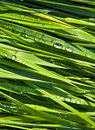 Green wheat grass with dewdrops Royalty Free Stock Images