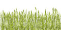 Green wheat grass illustration against white background Stock Images