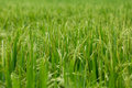 Green Wheat Grass Royalty Free Stock Photo
