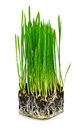 Green wheat grass with roots isolated on white background Stock Photography