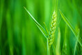 Green wheat head in cultivated agricultural field early stage of farming plant development selective focus with shallow depth of Royalty Free Stock Photos