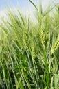 Green wheaten  ears against blue sky Stock Photography