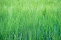 Green wheatfield Royalty Free Stock Photo
