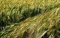 Green wheats in the field Royalty Free Stock Photo