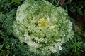 Green white flowering kale and in palmer alaska Stock Image