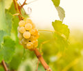 Green - white grape (Riesling) Stock Image