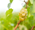 Green - white grape (Riesling) Stock Images