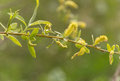 A green willow branch blooms on a blurred background