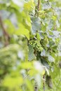 Green wine grapes Royalty Free Stock Photos