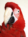 Green Wing Macaw Royalty Free Stock Photos
