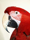 Green Wing Macaw Royalty Free Stock Image