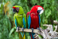 Green-Winged and Great Green macaws in the nature Royalty Free Stock Photo