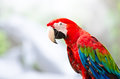 Green-winged macaw Royalty Free Stock Images