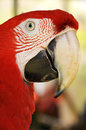 Green winged macaw a close up face Stock Photo