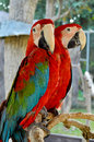 Green winged macaw on tree branches within the exhibit Royalty Free Stock Photos