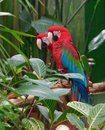 Green Winged Macaws (Ara chloropterus) Royalty Free Stock Photo